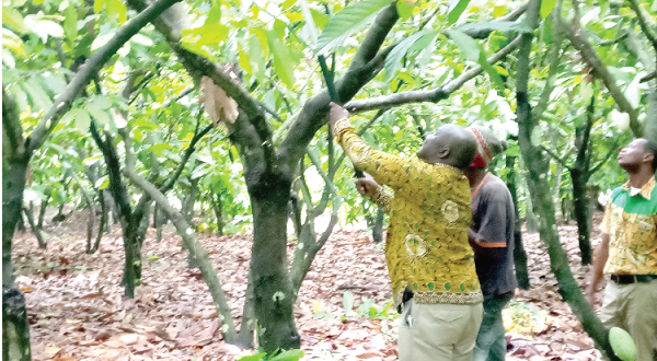 Dr Tackie-Otoo assisting a labourer to prune a cocoa tree